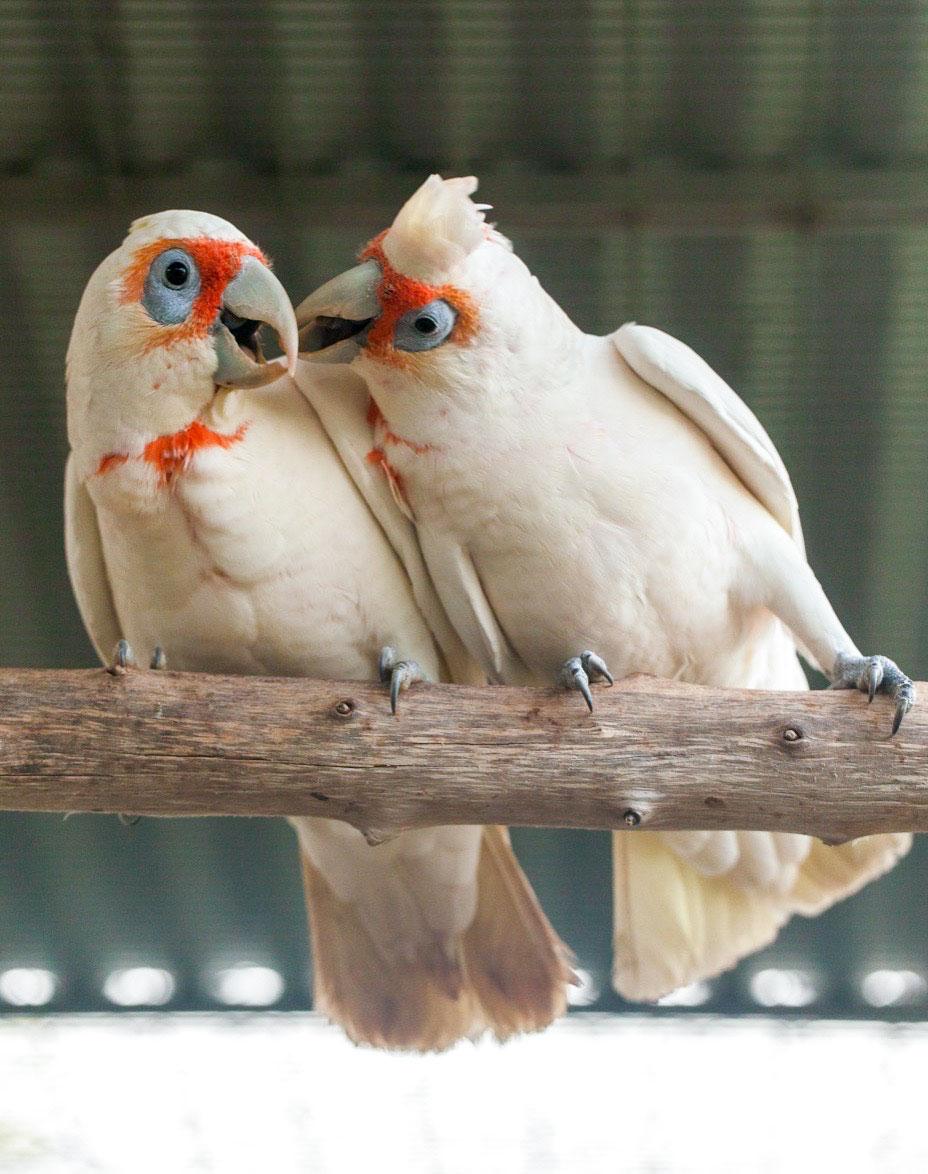International Celebration of Birds | Cockatoo Aggression